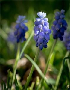fleur bleue domi