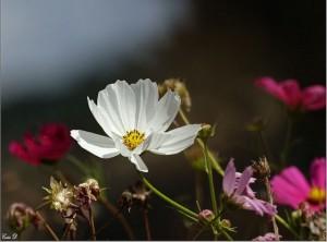 super fleur domi